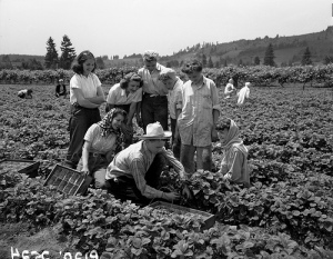 It takes an army to pick a berry. Actually, these folks admire Stanley Boyer, kneeling, as he picks strawberries in 1946. Boyer was one of the best strawberry pickers in the Portland area. His record was 21 crates of strawberries in a six-hour day, which I suppose is quite a lot.